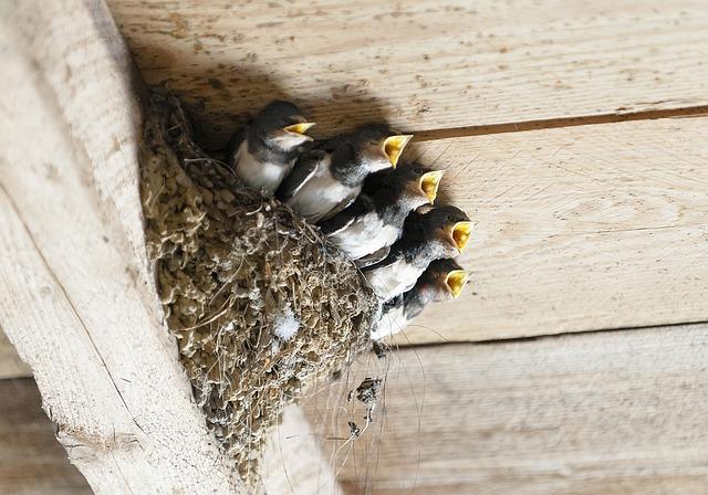 ptáčata v hnízdě