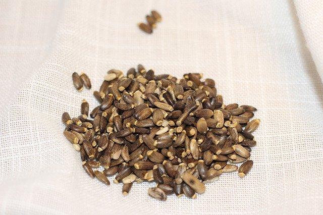 Semínka bodláku